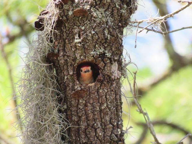 Red Bellied Woodpecker in Nest